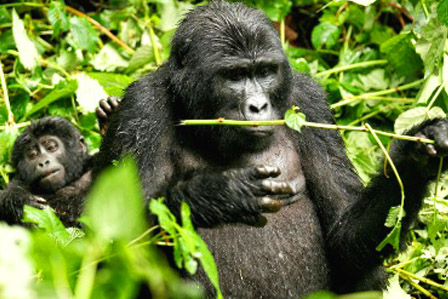 3 Day Bwindi Gorilla Safari From Kigali
