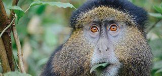 3 Days Rwanda Golden Monkey Trekking Safari
