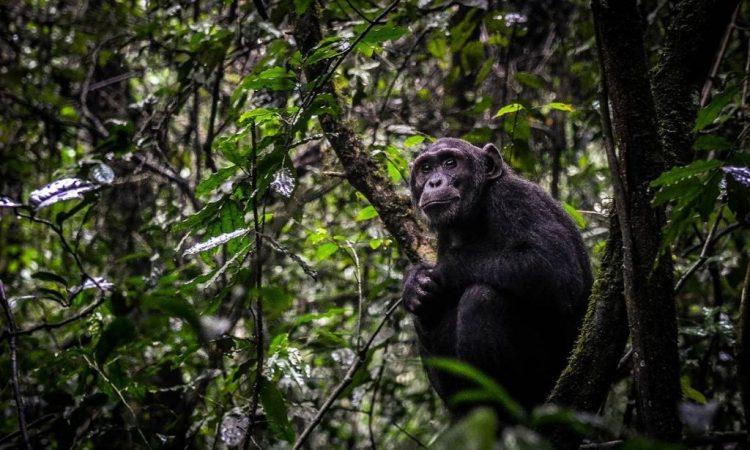 Chimpanzee trekking