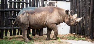The 5 European Black Rhinos