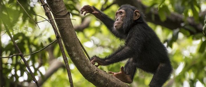 Chimpanzee Habituation in Uganda