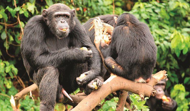 Habituated Primates