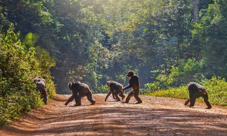 Essentials of Chimpanzee Trekking