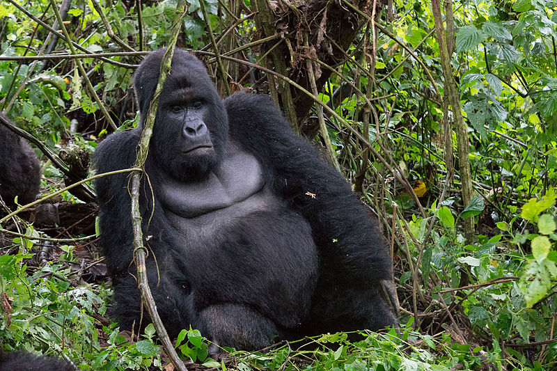 Le Petit Mikeno Congo Safari (4 days Congo Safari)