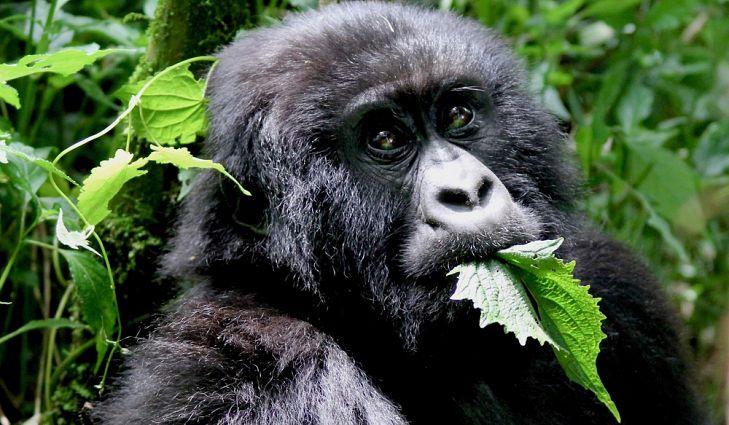 what is a gorillas main diet