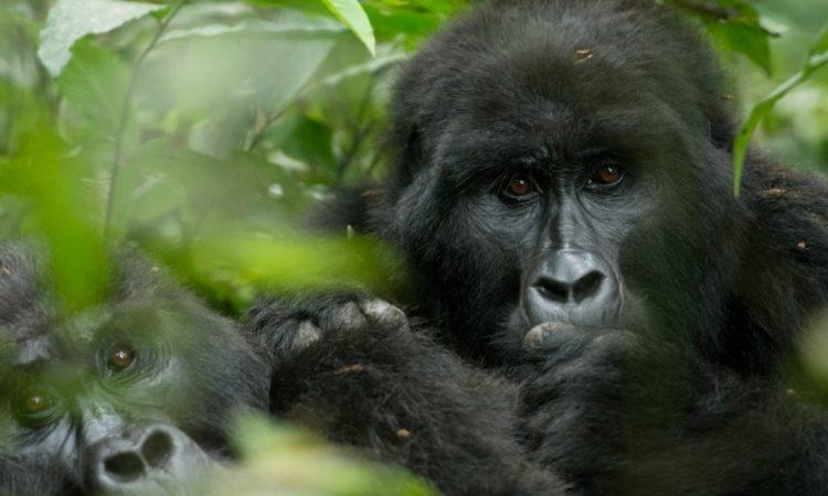 Mountain Gorilla Families in Congo