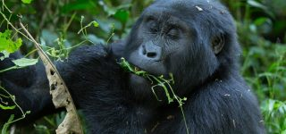 Gorilla Trekking in Mgahinga Gorilla National Park