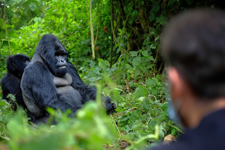 Comparison Between Gorilla Trekking and Gorilla Habituation