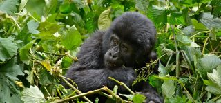 Gorilla Habituation Experience in Uganda