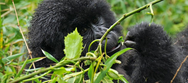 Main Threats to Mountain Gorillas