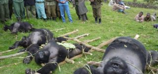 Main Threats to Mountain Gorillas
