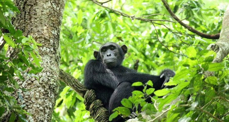 Primate Tracking in Nyungwe Forest National Park