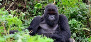 8 Days Rwanda & Congo Primate safari (with Nyiragongo)