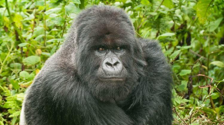 5 Days Rwanda & Congo Gorilla Trekking Safari