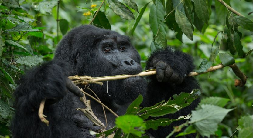 5 Days Volcanoes Primates & Dian Fossey Hike