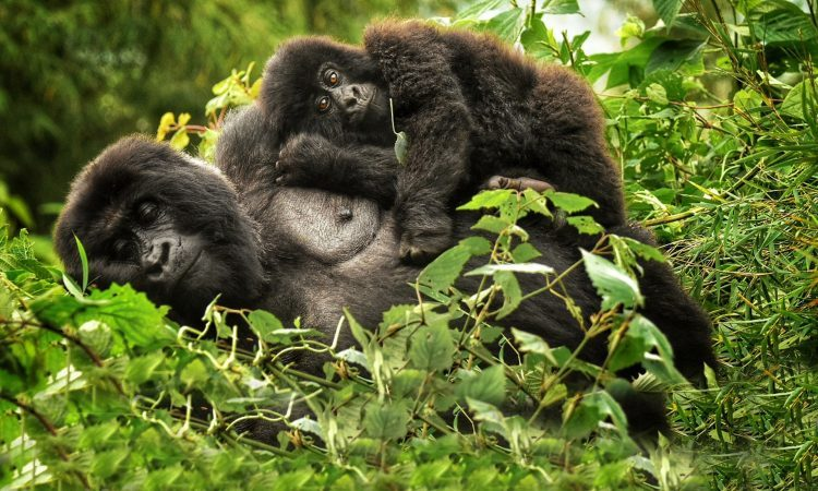 5 Days Rwanda Gorillas & Chimpanzee Trekking Safari