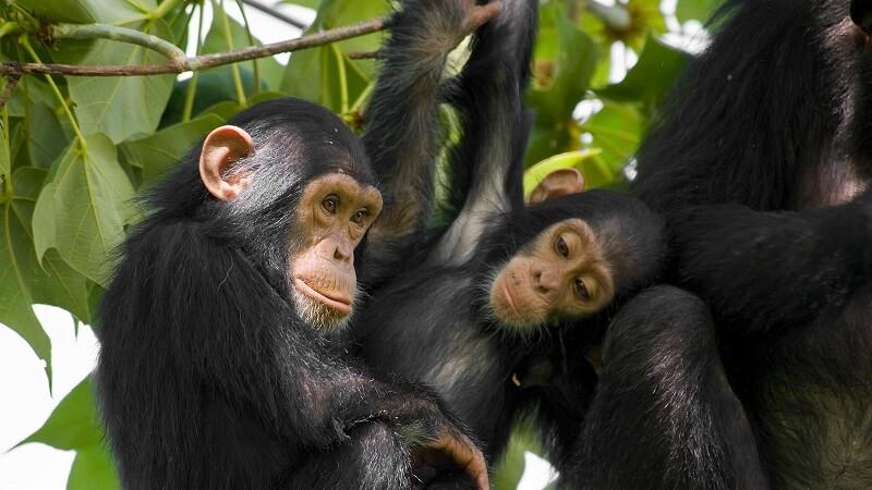 6 Days Uganda Gorillas, Chimps & Big 5 Safari