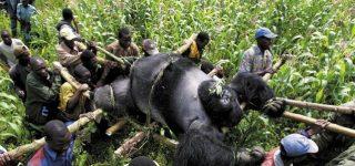 Why do poachers kill mountain gorillas?